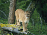 A Mountain Lion Balances on the Trunk of a Fallen Tree Fotografisk tryk af Norbert Rosing