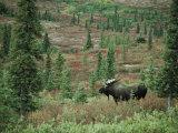 An Alaskan Moose Forages in a Field Fotografisk trykk av Michael S. Quinton