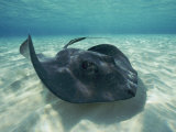 A Southern Stingray Swims Close to the Ocean Floor Fotografie-Druck von Bill Curtsinger