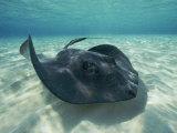 A Southern Stingray Swims Close to the Ocean Floor Impressão fotográfica por Bill Curtsinger