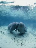 An Underwater Shot of a Pair of Florida Manatees Fotografie-Druck von Brian J. Skerry