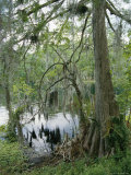 A Cypress Tree with Spanish Moss Along the Shore of the Silver River Fotografisk trykk av Stephen St. John