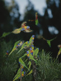 Colorful Rainbow Lorikeets Vie for a Spot on a Perch Reproduction photographique par Nicole Duplaix