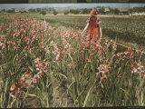 Cultivated Gladiolus in Santa Cruz, California Fotografisk trykk av Charles Martin