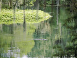 An Alligator Floats Just Above the Surface of the Silver River Fotografisk trykk av Stephen St. John