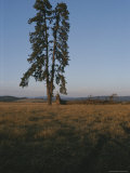 A Lone Evergreen Tree Stands Tall on the Weippe Prairie Photographic Print by Sam Abell