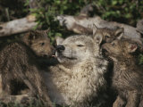 Captive Wolf Playing with Pups in Front of Den Fotoprint