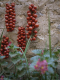 Strings of Tomatoes Dry on a Wall Near a Bed of Begonias Photographic Print by Tino Soriano