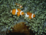 A Trio of False Clown Anemonefish in the Tentacles of Sea Anemones Photographic Print by Wolcott Henry