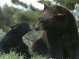 Captive American Black Bear and Cub Photographic Print by Norbert Rosing