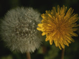 Two Stages of Dandelion Side by Side, Yellow Petals and Seed Head Fotografisk trykk av Stephen St. John