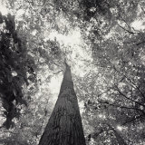 A Black and White View Looking up in the Interior of a Forest Fotografisk tryk af Sam Kittner