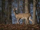 A Wild Deer Caught in Early Morning Light Fotografisk trykk av Stephen St. John
