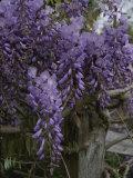 Wisteria Blossoms Drape an Old Fence Post Fotografisk trykk av Stephen St. John