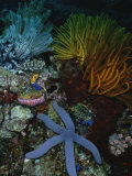 A Blue Starfish with Colorful Coral and Sea Anemones Photographic Print by Wolcott Henry