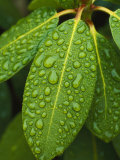 A Close View of Raindrops on Rhododendron Leaves Stampa fotografica di Tim Laman