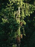 Brown Bear Cubs in Tree, Bayerischer Wald National Park, Germany Impressão fotográfica por Norbert Rosing