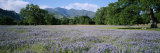 A Meadow Filled with Blooming Lupines, Bordered by Oaks and Mountains Photographic Print by Rich Reid