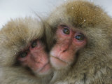 A Pair of Japanese Macaques, or Snow Monkeys, Cuddle Together Fotografisk trykk av Tim Laman