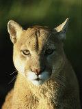 A Portrait of a Mountain Lion Impressão fotográfica por Norbert Rosing