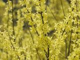 Spring Flowers, Forsythia, Mid-April, Massachusetts Fotografisk tryk af Darlyne A. Murawski