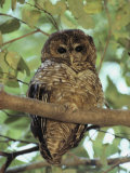A Northern Spotted Owl (Strix Occidentalis) Peers from a Tanoak Tree Fotografisk tryk af Paul Chesley