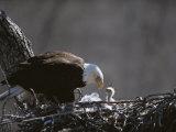 Un águila calva americana y su polluelo Lámina fotográfica por Roy Toft