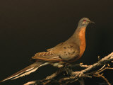 A Stuffed and Mounted Passenger Pigeon on Display at a Museum Reproduction photographique par Joel Sartore