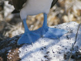 The Feet of a Blue Footed Booby Bird on Espanola Island Reproduction photographique par Gina Martin