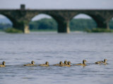 Ducks Paddle Across the Susquehanna River Near the Rockville Bridge Fotografisk tryk af Raymond Gehman