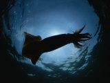 Giant Or Humboldt Squid in Silhouette from Below Fotografie-Druck von Brian J. Skerry