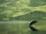 An American Bald Eagle Lunges Toward its Prey Below the Water 写真プリント : クラウス・ニッゲ
