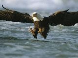 An American Bald Eagle in Flight over Water Hunting for Fish Fotografisk tryk af Klaus Nigge