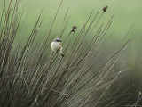 A Red-Backed Shrike Perches on Field Grass Reproduction photographique par Klaus Nigge