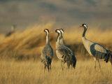 Common Cranes in a Grassy Landscape Fotografisk tryk af Klaus Nigge