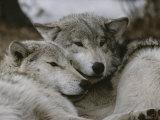 Napping Gray Wolves Reproduction photographique par Jim And Jamie Dutcher