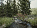 Mountain Lion Leaps across a Forest Stream Stampa fotografica di Jim And Jamie Dutcher