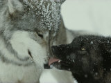Mid-Rank Gray Wolf Submits to the Alpha Reproduction photographique par Jim And Jamie Dutcher