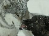 Mid-Rank Gray Wolf Submits to the Alpha 写真プリント : ジム・アンド・ジェイミー・ダッチャー
