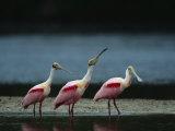 Trio of Roseate Spoonbills Are Reflected in a Coastal Lagoon Stampa fotografica di Klaus Nigge