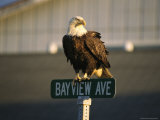 American Bald Eagle Perches on a Street Sign 写真プリント : トム・マーフィ