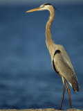 Great Blue Heron Walks in the Sand Stampa fotografica di Klaus Nigge