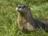 Adult, Male North American River Otter Lámina fotográfica por Nicole Duplaix
