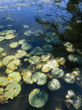 Lily Pads in a Pond in Whitnall Park Reproduction photographique par Paul Damien