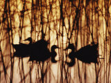 A Group of Silhouetted Mallards Swims Among Reeds at Sunset Photographic Print by Jason Edwards