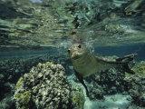 Hawaiian Monk Seal in a Coral Sea Reef, French Frigate Shoals, Hawaiian Islands Fotografie-Druck