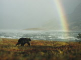 Alaskan Brown Bear and Rainbow near Nonvianuk Lake in Katmai National Park, Alaska Impressão fotográfica por George F. Mobley