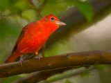 Summer Tanager (Piranga Rubra) Perched on Branch in Forest Reproduction photographique par Roy Toft