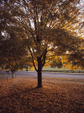 Tree in Autumn Foliage on the Grounds of Dartmouth College, Hanover, New Hampshire Photographic Print by Sam Abell