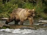 Alaskan Brown Bear (Ursus Arctos) Walking in River and Fishing Stampa fotografica di Roy Toft